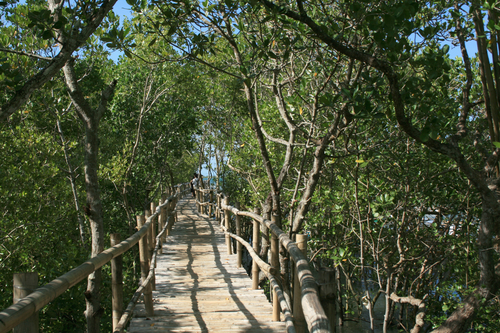 Boardwalk surrounded by mangrove trees in Tubigon