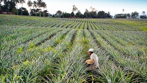 man walking in a pineapple field